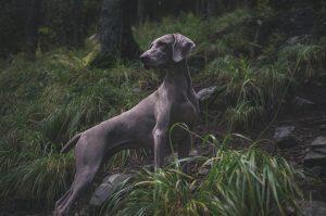 Chien dressé pour la chasse.